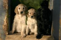 Two yellow and one black flatcoated retriever