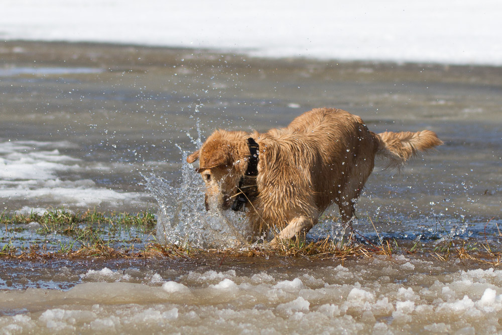 flatcoated retriever in icy water