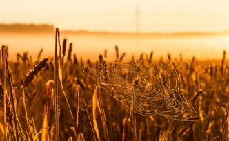 Spider web in rye field during sunrise