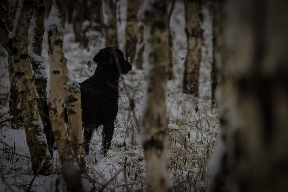 young flatcoated retriever in the trees