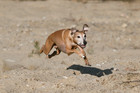 Lure coursing #2